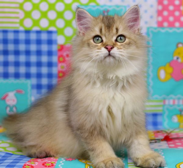 AVAILABLE KITTENS   Puro Amor Cattery