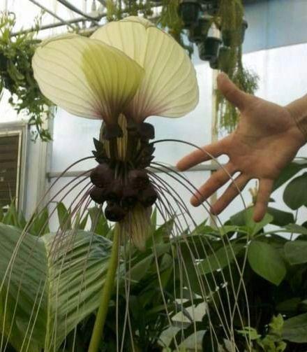 Tacca Integrifolia (White Bat plant)