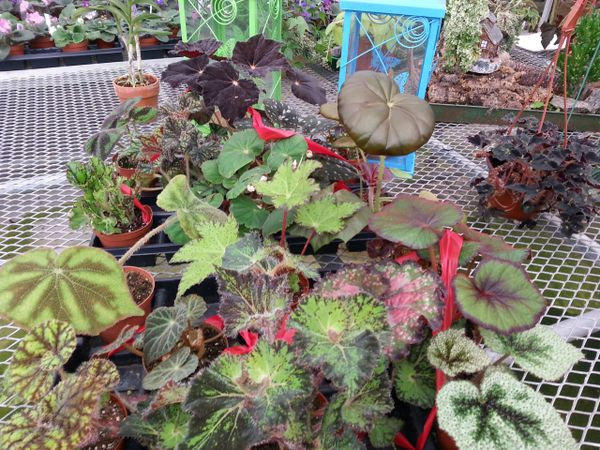 Rex Begonia assortment
