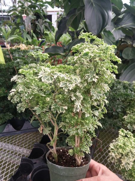 Dwarf variegated parsley aralia