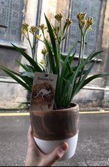 Kangaroo Klaw Plant in Ceramic Pot
