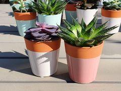 A Pair of mini succulents in ceramic pots