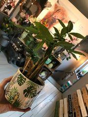 Fiddle Leaf Fig Houseplant in a Tropical Ceramic Pot