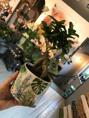 Weeping Fig Houseplant in Ceramic Pot
