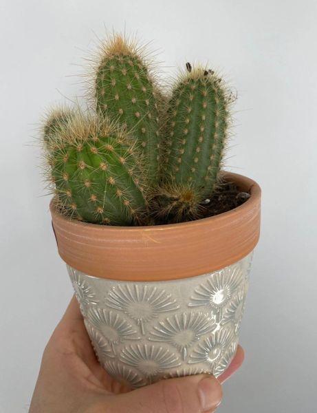 Cactus in cream ceramic pot