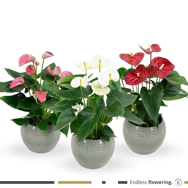 Anthurium arrangement 40cm ( choose )