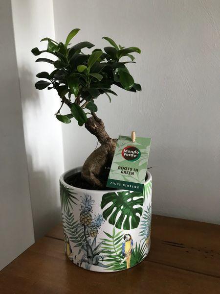 Ficus Ginseng Houseplant in Ceramic Pot