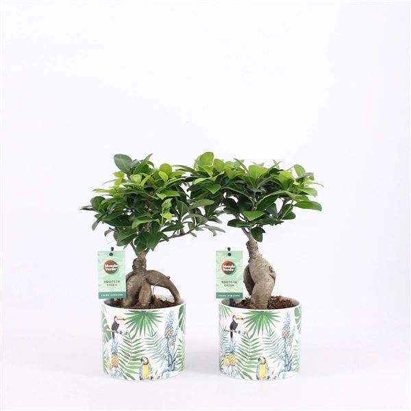 Ficus mi Gingseng in ceramic pot 30cm