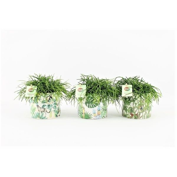 Rhipsalis Oasis in ceramic pot 20cm