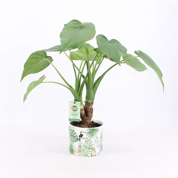 Alocasia Cucculata in ceramic pot 50cm