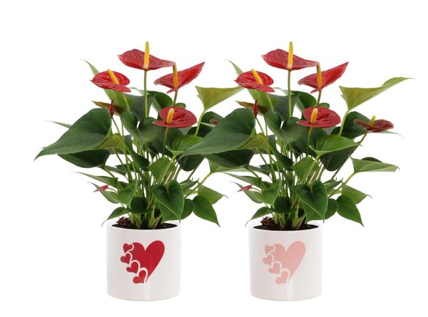 Red Anthurium in Ceramic Pot