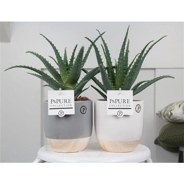 Aloe Arborescens in ceramic pot 35cm - choose colour