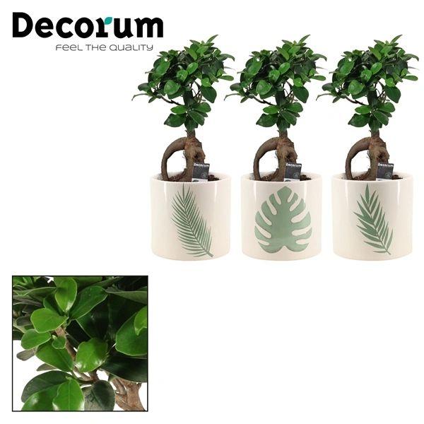 Ficus mi Gingseng in ceramic pot approx 30cm