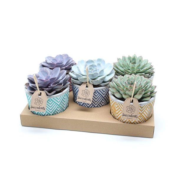 Beautiful Succlent in ceramic pot 15cm