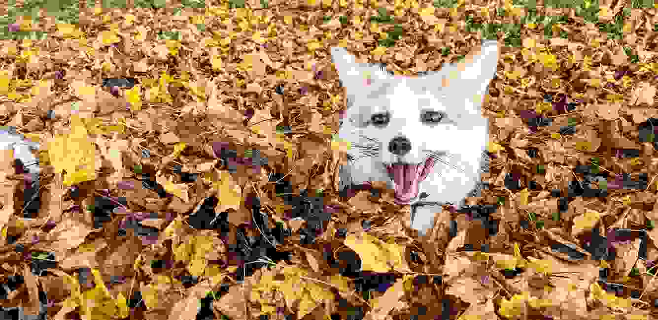 Red Marble fox smiling in pile of fall leaves