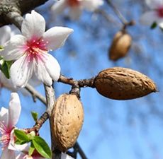 ALMOND (SWEET) OIL 4 OZ
