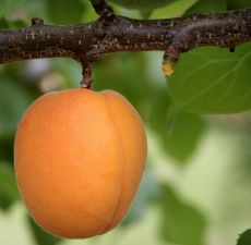 Apricot Kernel Oil 4 OZ