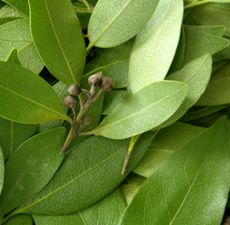 BAY LAUREL ESSENTIAL OIL 10 ML