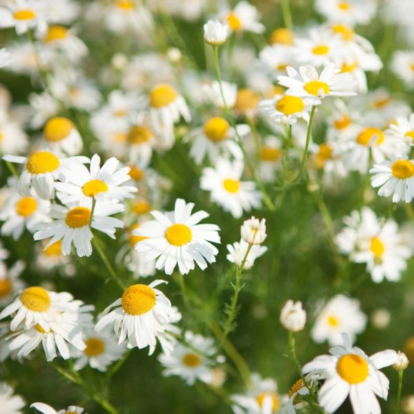 CHAMOMILE ROMAN 10% ESSENTIAL OIL 30 ML