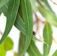 EUCALYPTUS ESSENTIAL OIL 60ML