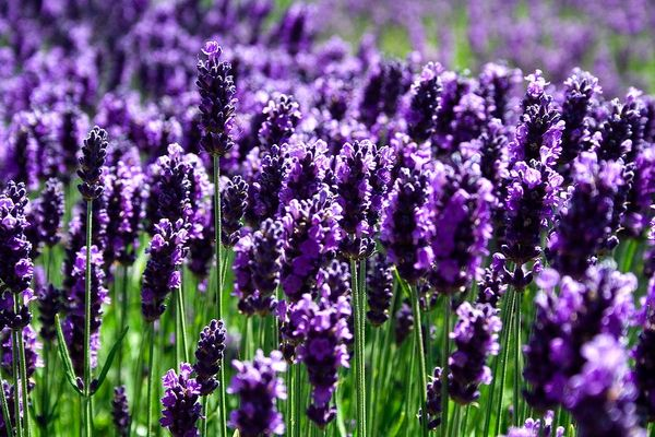 LAVENDER ESSENTIAL OIL 60 ML