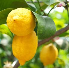 LEMON ESSENTIAL OIL 60 ML