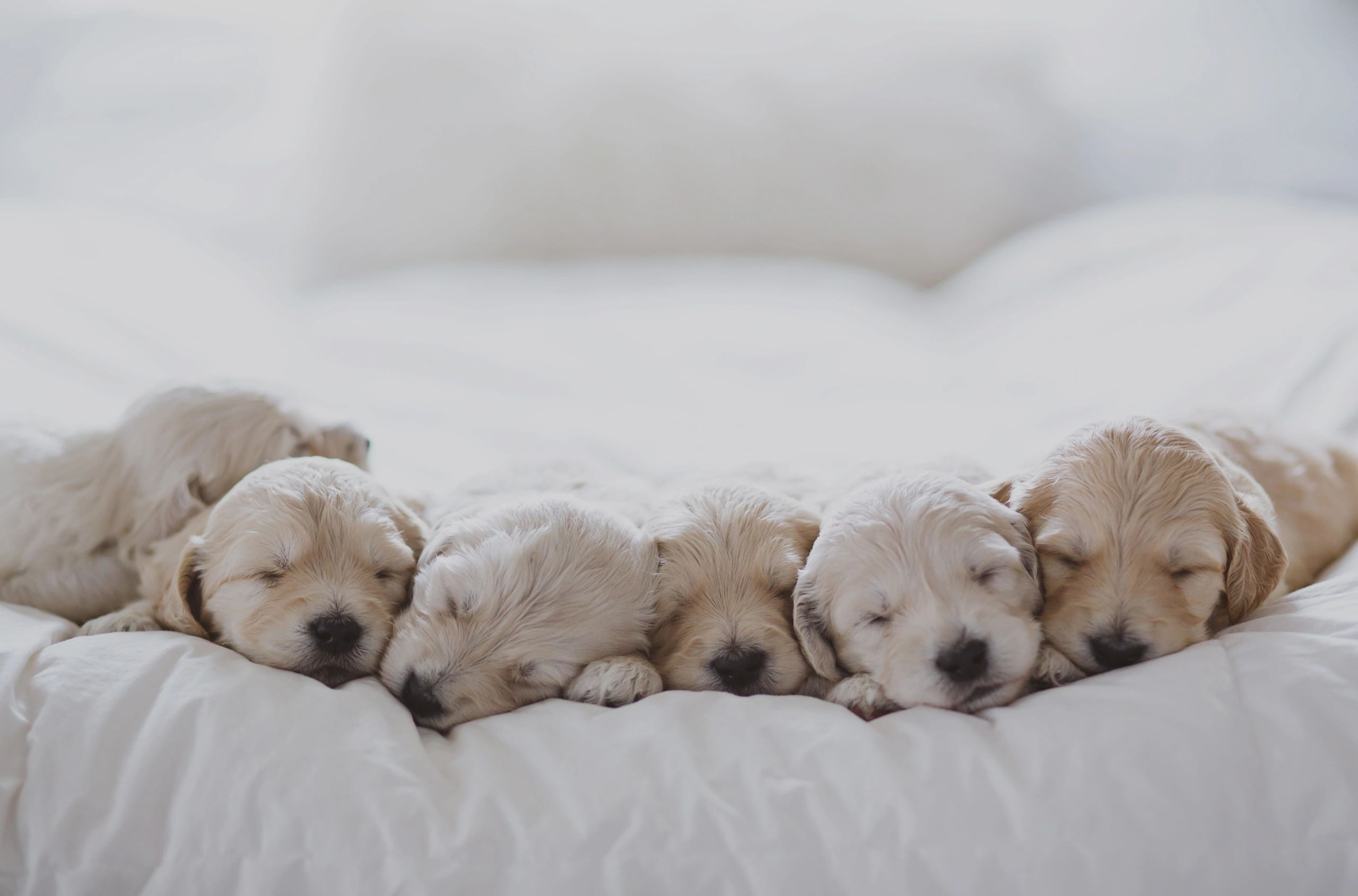 "English ""Teddy Bear"" Goldendoodle Puppies"