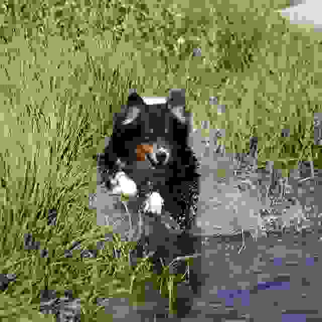 Ranger in swamp Australian Shepherd breeder