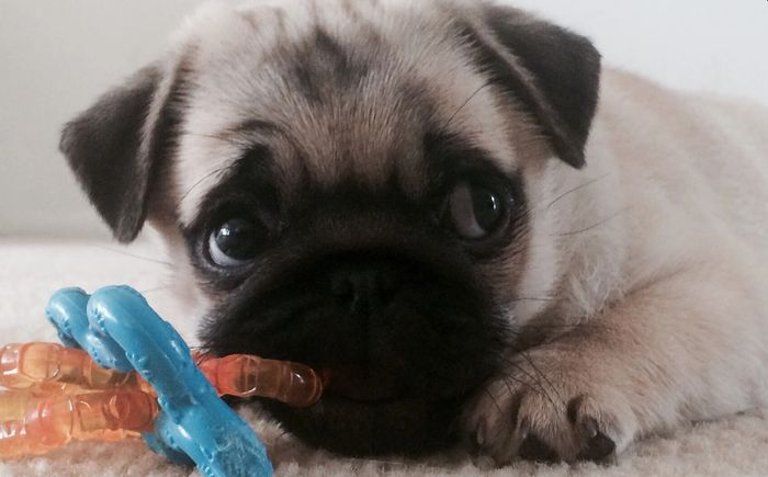 Your next pug puppy