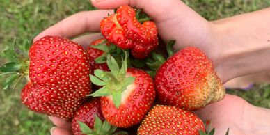 Strawberries, fresh and Non-GMO, not sprayed with countless chemicals...hand picked and hand weeded.