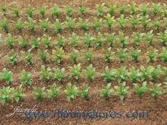 25x Sugarbeet Plant Crops 1:32 Scale by Juweela 23386