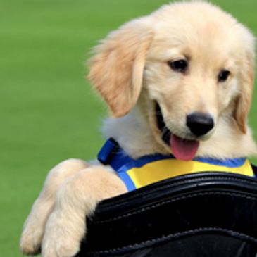 Canine Companion puppy in golf bag