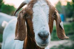 Goat Milk Soapmaking Class Saturday December 7th 10:00 - 12:00
