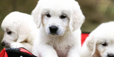 Here are some more of our english cream golden retriever puppies. These pups are from Indy and our stud dog, Tristan.