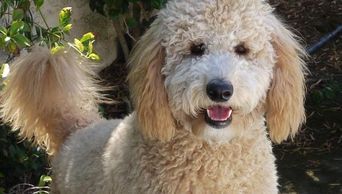 goldendoodle doodle puppies