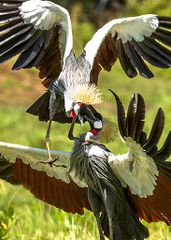 Black Crowned Crane Fight
