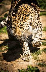 Leopard after prey