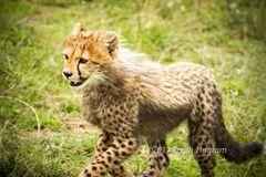 Cheetah Cub Running