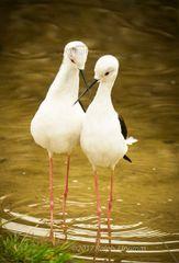 Stilt birds in Love