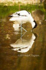 Avocet in reflection
