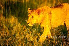 Lioness Walk side view