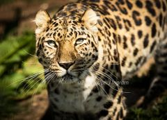 Leopard looking at me