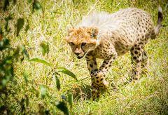 Cheetah Cub Stalking
