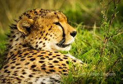Cheetah looking out