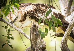 Hawk Eagle Stare