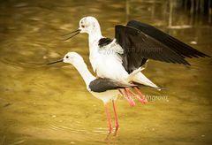 Stilt birds Mating