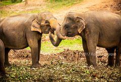 Elephants Link Trunks