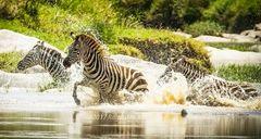 Zebra's Charging River