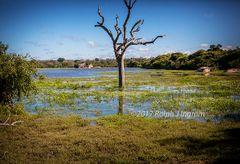 Yala Lake Tree