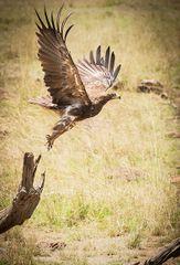 Eagle Take Off